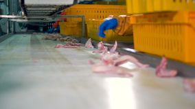 Workers gloved hands choose chicken wings for packaging at meet processing plant. 4K.