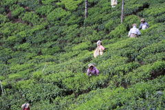 Workers at Tea Estate Royalty Free Stock Photo