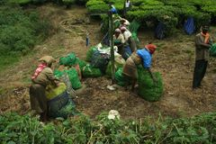 Workers at tea plantation Stock Image