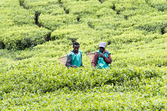 Workers at a tea plantation Stock Image