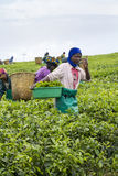 Workers at a tea plantation Stock Photo