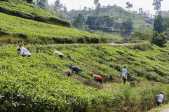 Workers on the tea plantation Stock Photography