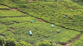 Workers of tea plantations stock video footage