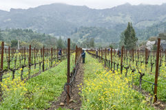 Workers tending wine grape vines in California Royalty Free Stock Photo