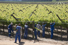 Workers tying vines Botrivier region South Africa Royalty Free Stock Image