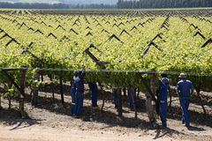 Workers tying vines Botrivier region South Africa Stock Images