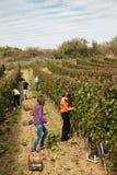 Workers In Vineyard Stock Image
