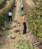 Workers In Vineyard Royalty Free Stock Image