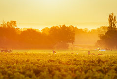 Workers in vineyards of Beaujolais during the golden hour Royalty Free Stock Photography