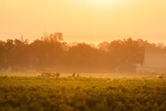Workers in vineyards of Beaujolais during the golden hour Stock Images