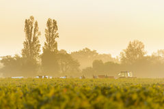Workers in vineyards of Beaujolais during the golden hour Royalty Free Stock Image