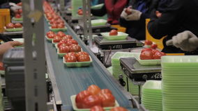 Workers weigh, put tomatoes in trays and place on magnetic tape indoors. stock video footage