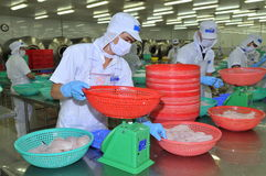 Workers are weighing pangasius fish fillets in a seafood processing plant in Tien Giang, a province in the Mekong delta of Vietnam Royalty Free Stock Photography