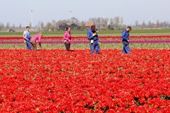 Male and female workers in the red tulip fields, Noordoostpolder, Flevoland, Netherlands Royalty Free Stock Image