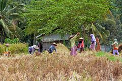 Workers working in the rice fields in Lombok, Indonesia Royalty Free Stock Photos