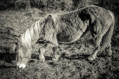 Workhorse. In black and white Royalty Free Stock Photo