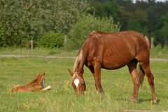 Workhorse on the fresh grass. Horses on the fresh grass. natural light in summer day Stock Photos