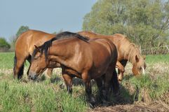Workhorse. Grazing in the pasture. Meadow Royalty Free Stock Photos