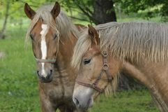 Workhorse. Grazing in the pasture. Meadow Royalty Free Stock Images