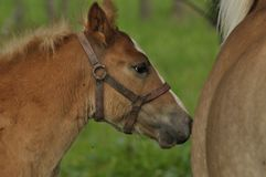 Workhorse. Grazing in the pasture. Meadow Stock Images