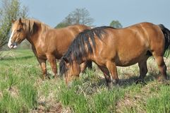 Workhorse. Grazing in the pasture. Meadow Royalty Free Stock Photography
