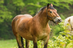 Workhorse inactive after work Royalty Free Stock Image