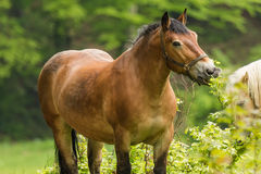 Workhorse inactive after work. Workhorse is inactive after hard work Royalty Free Stock Image