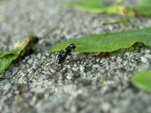 Working ant. The ants can carry objects many many times bigger than they are Royalty Free Stock Image