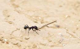 Working ant Stock Images
