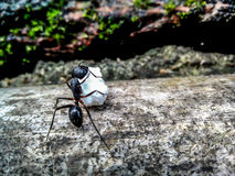 A working ant Royalty Free Stock Photos