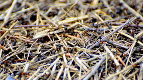 Working ants on anthill stock video footage