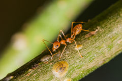 The Working Ants Stock Photos