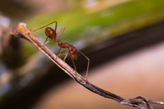 The Working Ants Royalty Free Stock Photos
