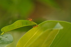 The working ants Stock Photography