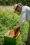Working apiarist. And frame with bees Royalty Free Stock Photo
