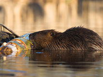 Working Beaver. A beaver goes to work gnawing at a log stock image