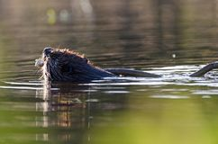 Working beaver Stock Photography