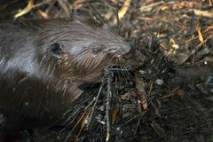 Working Beaver Stock Images