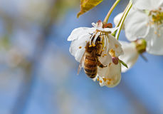 Working Bee. This image shows a macro from a working bee stock photo