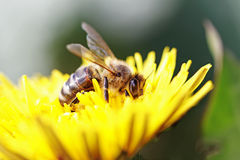 Working bee. Royalty Free Stock Photo