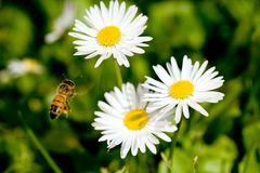 Working bee. Spring meadow with three daisies. Macro shot, shallow depth of field Royalty Free Stock Photos