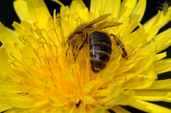 Working bee. Bee working on the sowthistle Stock Images