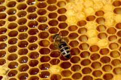 Working bee. On honeycells royalty free stock images