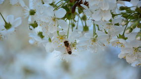Working bee on the blossoming cherry tree in the fruit garden.  stock video