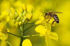 Working bee and canola plant Stock Photo