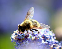 Working bee Royalty Free Stock Images