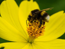 Working bee. Collect the pollen royalty free stock photos