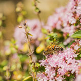 Working bee. Bee collecting nectar on flower stock photography