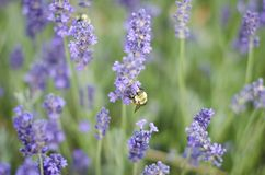 Working Bee in the flowers. Bee working in the fresh spring flowers in utah Stock Photos