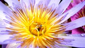Working bee in fragrant waterlilly. Wirking bee in fragrant water lilly Royalty Free Stock Images
